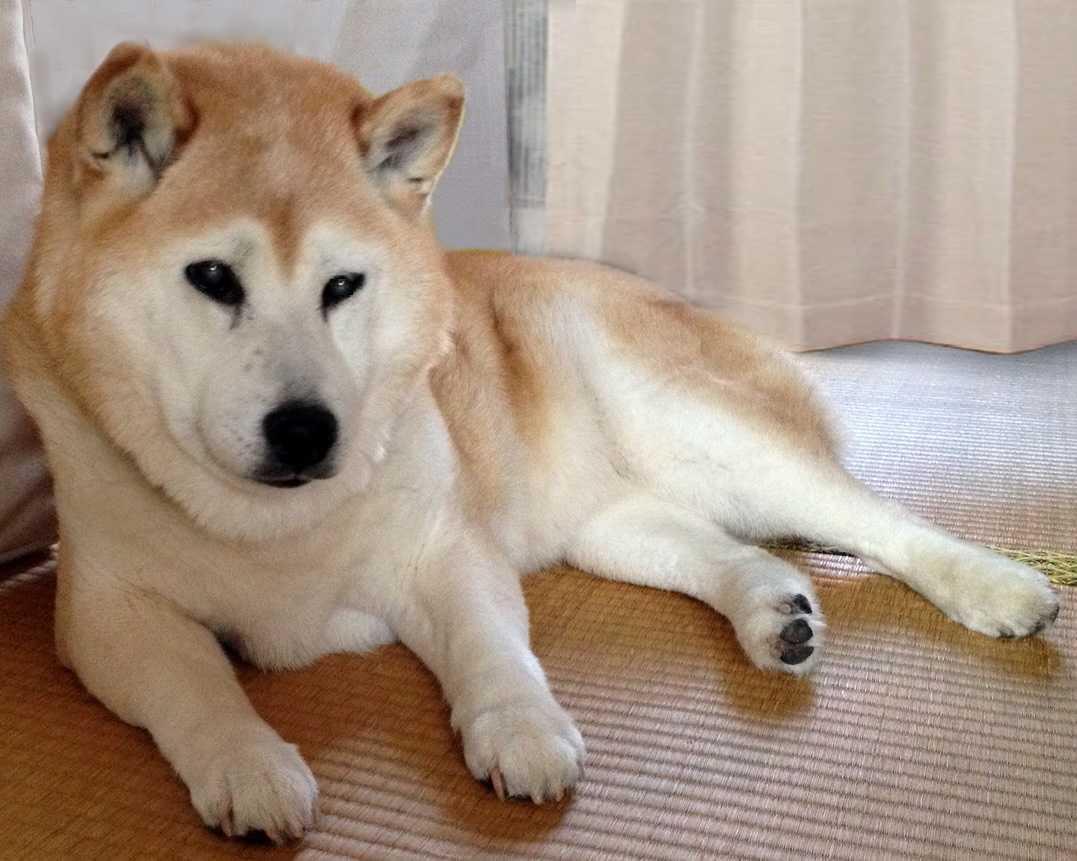 玉椿_柴犬